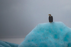 Soaked Eagle on an Iceberg (jeff's pixels) Tags: alaska juneau landscape nature iceberg nikond850 ice eagle car bus train plane