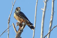 Merlin Plucking Prey (brad.schram) Tags: merlin falcon falcocolumbarius taigamerlin adultmalemerlin