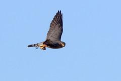 Merlin Surveys the Scene (brad.schram) Tags: merlin falcon falcocolumbarius taigamerlin adultmalemerlin