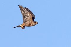 Merlin with Prey (brad.schram) Tags: merlin falcon falcocolumbarius taigamerlin adultmalemerlin