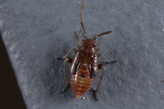Ausejanus albisignatus (zosterops) Tags: ausejanusalbisignatus australia tasmania hobart knockloftyreserve canoneos6d canonmacrolensmpe65 macro insecta hemiptera miridae