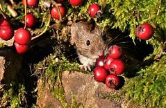 Bank Vole (charlie.syme) Tags: vole wildlife nature nikon berries northumbria mammal