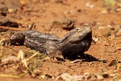 Bearded dragon. (jennospics) Tags: lizard beardeddragon