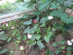 Anthurium, pink lily  TR - 066 (d.kevan) Tags: