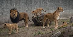 ZOO (321 of 1) (abenche) Tags: lion lions lioncubs kingofthejungle animals africa lionpack