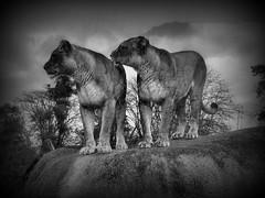 Lionnes à l'affut (Raymonde Contensous) Tags: lionnes félins animal animaux nature zoodevincennes parczoologiquedeparis monochrome effets vignettage lions