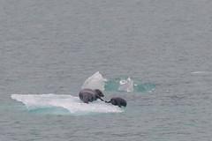 Harbor Seel family on ice (jeff's pixels) Tags: alaska juneau landscape nature iceberg nikond850 ice car bus train plane