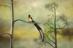Out Of Africa (Christina's World : updated bio) Tags: 2936 bird paradisewhydah male plumage finch textures nature africa africanbird africarocks sandiego topaz touristattraction trees exotic exhibitionoftalent kurtpeiser topclass oe coth5