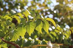 Καλημέρα! ~ Good morning! :-) (Argyro Poursanidou) Tags: leaf leaves foliage colorful nature green light sunlight autumn φύλλα φθινόπωρο φύση