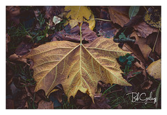I used to hang out (Bob Geilings) Tags: fall autumn november brown yellow orange mood macro forrest forrestfloor nature leaf leafs