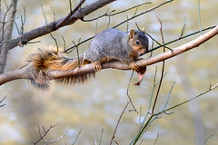 Fox Squirrel (Astral Will) Tags: mammal rodent critter squirrel foxsquirrel tail lounging