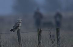 Short-Eared Owl -  recordshot (Ann and Chris) Tags: shortearedowl wildlife beautiful nature posing post