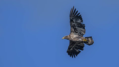 Bald Eagle 9355 (Paul McGoveran) Tags: bif baldeagle bird birdinflight hendrievalley nature nikon500mmf4 nikond500 wings coth5