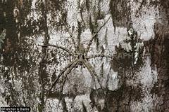 43740 Hunstman Spider (Heteropoda sp) on a tree trunk,Terengganu, Malaysia. (K Fletcher & D Baylis) Tags: wildlife animal fauna arachnid spider huntsmanspider heteropoda terengganu malaysia asia november2019 ©fletcher baylis