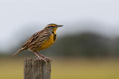 Eastern Meadowlark, Joe Overstreet Road (irelaia) Tags: eastern meadowlark joe overstreet road wild bird florida america fencepost