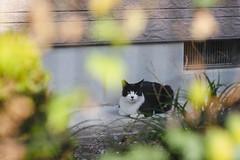 猫 (fumi*23) Tags: ilce7rm3 sel85f18 sony apsccrop fe85mmf18 a7r3 animal cat gato katze neko ねこ 猫 ソニー chat