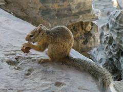 Ockerfußbuschhörnchen / tree squirrel (peterkaroblis) Tags: namibia treesquirrel baumhörnchen tier animal braun brown ockerfusbuschhörnchen