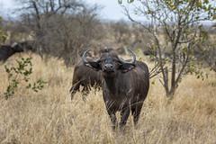 Wary (Sheldrickfalls) Tags: buffalo africanbuffalo buffel krugernationalpark kruger krugerpark satara sataracamp mpumalanga southafrica