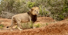 Male Lion (haroldmoses) Tags: lions