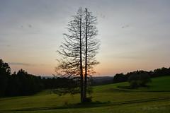 Harmating (Bana Peter) Tags: harmating bayern germany deutschland pine tree bana 2017 nikon d5200 nature sunset evening sonne sun landschaft untergang double tanne bajorország augusztus august summer sommer nyár naplemente