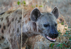 After the kill (Queen of the Swarm) Tags: hyena spottedhyena africanmammal africancarnivore nature wildlife portrait hyenaportrait zambia southluangwa laughinghyena