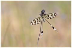 Nemoptera bipennis (nigel kiteley2011) Tags: nemopterabipennis insects nature macro spoonwing canon 5dmk3 sigma180mm coth5