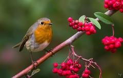 Robin (Jongejan) Tags: robin bird animal nature wildlife outdoor outside pentax berries branch