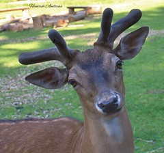 Hübsch bin ich (hamfilt) Tags: reh tier wildpark natur hessen urlaub ausflug
