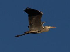 IMG_9841 (Christandl) Tags: reiher silberreiher burgenland vogel bird wildlife