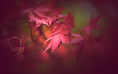 Maple leaves (Dhina A) Tags: sony a7rii ilce7rm2 a7r2 a7r carlzeissjenakipronar120mmf19 carl zeiss jena kipronar 120mm f19 vintage cine projectionlens projectorlens petzval manualfocus autumn colors japanese maple leaves acer palmatum