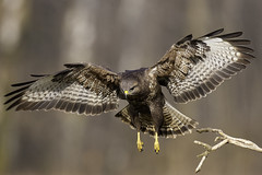 Hunting (Pawel Wietecha) Tags: hunting bird animal buzzard forest winter color brown white yellow birdsofeurope wild wildlife coth5 outside outdoor colors vivid landscape wings sun tail