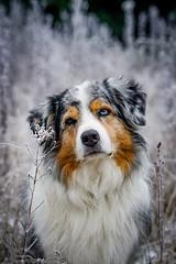 Sleepy (A.K. 90) Tags: dogs dog hunde hund pet haustier animal portrait sonyalpha6300 fe85mm18 winter cold kalt frozen look bluemerle blueeyes aussie australianshepherd white weis outside outdoor shooting
