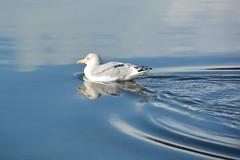 Herring Gull Reflections (suekelly52) Tags: herringgull aquaticbird seabird reflection water blue ripples bird looe