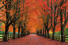 Fire Lane (pdxsafariguy) Tags: snoqualmie landscape alley seasons road fall pacificnorthwest red tree washington autumn maple orange farm rural countryside fence foliage leaves trees branches tomschwabel