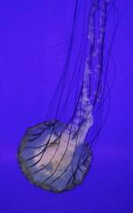 Oregon Coast Aquarium (pris matic) Tags: oregoncoastaquarium jellyfish oregoncoast newportoregon oregon pacificnorthwest pnw