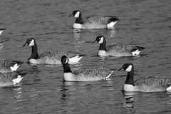 Flotilla (Tony Tooth) Tags: nikon d7100 tamron 500mm mirror catadioptric reflex geese canadageese birds water lake tittesworthreservoir meerbrook staffordshire staffs bw blackandwhite monochrome