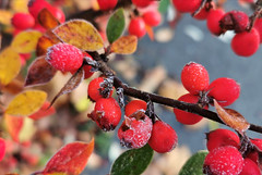 2019-11-19_09-32-50 (thingsihaveseen) Tags: autumn berries frost colours huaweip30pro huawei smartphonephotography red frostyberries