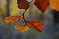 Autumn Calm (shawn~white) Tags: bokeh copper fujifilmxt2 ©shawnwhite autumn beauty gold peaceful calm reflective dreamy technique restorative enchanting tree leaves closeup forest woodland leaf woods branch rich deciduous beech harmonious sumptuous warm sooc incamerajpeg fujinonxf1655f28rlmwr