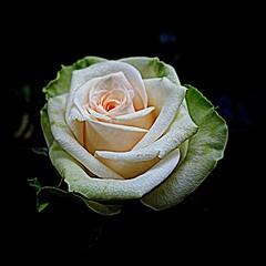 rose (majka44) Tags: flower rose black life lifestyle macro 2019 macroworld green pink nice beauty atmosphere