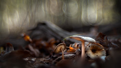 In the wood (bresciano.carla) Tags: trioplan28100mm vintagelens pentaxk500 m42 manuallens autumn mushrooms light bokeh