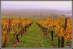 C'est l'automne sur le vignoble bordelais ! (Les photos de LN) Tags: vignoble vignes bordeaux automne nature paysage couleurs lumière brume brouillard nouvelleaquitaine gironde feuillages