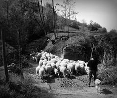 il pastore (fotomie2009) Tags: italy italia pastore gregge pecore sheep fauna dog paroldo fattoria bronzetta countryside campagna piemonte piedmont shepherd monochrome monocromo bw