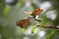 Tête-à-tête (Carlos Santos - Alapraia) Tags: borboleta butterfly ngc flickrcentral ourplanet animalplanet canon nature natureza wonderfulworld highqualityanimals unlimitedphotos fantasticnature têteàtête