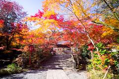 Colored-leaves (walkkyoto) Tags: 紅葉 亀岡市 kameoka 鍬山神社 kuwayamajinjya 神社 shrine 京都 kyoto 日本 japan laowa75mmf20
