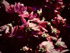 aster (delnaet) Tags: blume bloem fleur flower flor flores flora aster fantasticnature