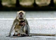 He asked for a profile shot probably (melvhsc100) Tags: nature wildlife park monkey sungeiburohwetlandpark singaporeattractions singaporenicescenery