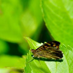 DSC_3419 (euskal begia) Tags: papillon macro proxi feuille