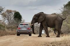 Mr Five Legs (eduardovil8) Tags: elephant africa krugernationalpark nationalpark southafrica sudafrica sony