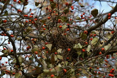 Off season rates apply (KsCattails) Tags: berries branch kansascity missouri nature neighborhood nest november tree
