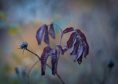 The Roses are lost (ursulamller900) Tags: pentacon28100 roses rose leaves blätter mygarden bokeh lost